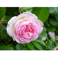 Buskrose 'Willestrup' - Rosa x 'Willestrup'