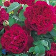 Engelsk rose 'William Shakespeare 2000' - Rosa x 'William...