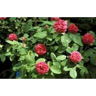 Gammeldags Rose 'Rose de Rescht' - Rosa damascena 'Rose de...