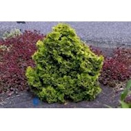 Cyprestræ eller hæk til haven - Køb Cypres nåletræ online
