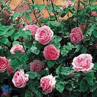 Austin 'Constance Spry' - Rosa x 'Constance Spry'