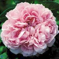 Gammeldags Rose 'Jacques Cartier' - Rosa portlandica 'Jacques...
