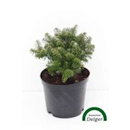 Koreagran 'Brillant' - Abies koreana 'Brillant'