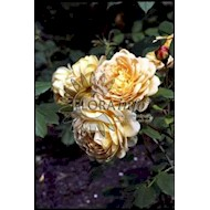 Austin Golden Celebration - Rosa x Golden Celebration