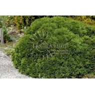 Dværg kugle thuja 'Little Giant' - Thuja occidentalis 'Little...
