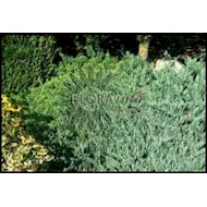 Krybende Ene 'Blue Chip' - Juniperus horizontalis 'Blue Chip'