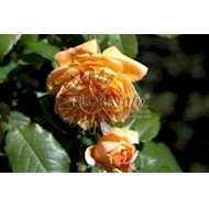 Austin Crown Princess Margareta - Rosa x Crown Princess...