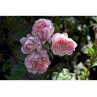 Austin Cottage Rose - Rosa x Cottage Rose