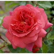 Austin 'Christopher Marlowe' - Rosa x 'Christopher Marlowe'