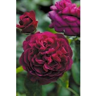 Austin 'Darcey Bussell' - Rosa x 'Darcey Bussell'