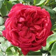 Austin 'Lady of Megginch' - Rosa x 'Lady of Megginch'