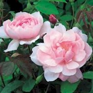 Austin 'Mortimer Sackler' - Rosa x 'Mortimer Sackler'