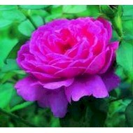Austin 'Noble Anthony' - Rosa x 'Noble Anthony'