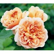 Austin 'Tea Clipper' - Rosa x 'Tea Clipper'