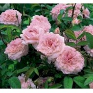 Austin 'The Mayflower' - Rosa x 'The Mayflower'