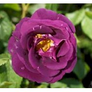 Buketrose 'Rhapsody in Blue' - Rosa x 'Rhapsody in Blue'
