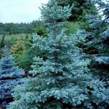 store grantræer til salg