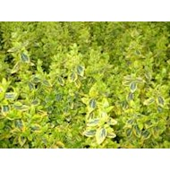 Krybende Benved Emerald Gold - Euonymus fortunei Emerald Gold